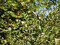 Scutia myrtina (Burm. f.) Kurz (33096737341).jpg