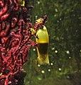 Scyliorhinus canicula egg.jpg