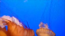 File:Sea Nettle.webm