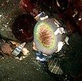 Sea anemone and chiton.jpg