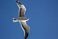 Seagull (15862153835).jpg