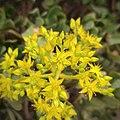 Sedum dendroideum (Crassulaceae).jpg
