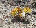 Sedum lanceolatum stonecrop Pioneer Basin.jpg