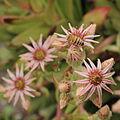 Sempervivum kindingeri-IMG 4197.jpg