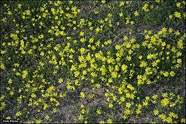 Senecio vernalis - Iris-Hill-IZE-033.jpg