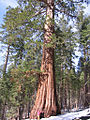 Sequoiadendron giganteum 01.jpg