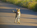 Serval (Leptailurus serval) (14054236993).jpg
