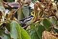 Setophaga fusca Monteverde 06.jpg