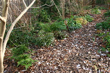 evergreen perennials in a shade garden under w...