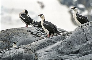 Pursuit Point - The IBA is an important breeding site for imperial shags