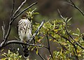 Sharp-shinned Hawk (5728187964).jpg