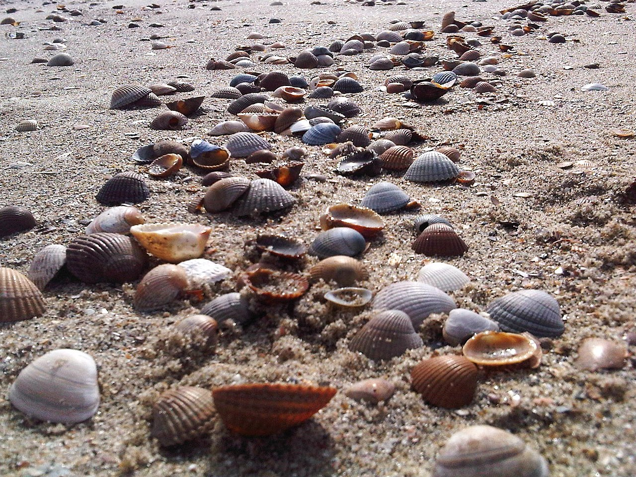 1280px-Shells_on_a_beach_in_Holland.jpg