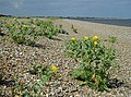 Shingle beach north of Dunwich - geograph.org.uk - 192544.jpg