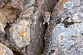 Short-tailed weasel perched in a crack between two rocks (44788581201).jpg