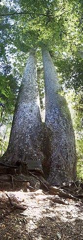 KEEP KAURI STANDING: Kauri Dieback Long Term Management: National ...