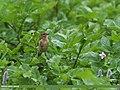 Siberian Stonechat (Saxicola maurus) (15894932672).jpg