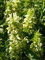 Sideritis endressii ssp endressii 833.JPG