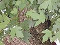 Silver-maple-leaves.jpg