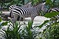 Singapore Zoo Zebras-01 (11944324063).jpg