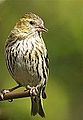 Siskin female (8401856843).jpg