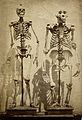 Skeleton of a human and a gorilla Wellcome V0029412.jpg