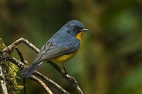 Slaty-backed Flycatcher - ThailandIMG 5516 (19324701495).jpg