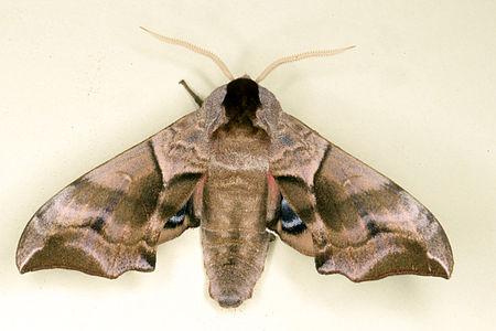 Smerinthus ocellata, Lodz(Poland)06(js).jpg