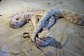 Snakes of iran مارها در ایران 02.jpg
