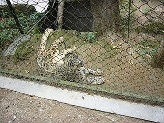 Padmaja Naidu Himalayan Zoological Park - Image: Snow Leopard in Padmaja Naidu Himalayan Zoological Park (5)