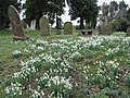 Snowdrops in the churchyard - geograph.org.uk - 663942.jpg