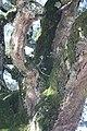 Sobreiro do Largo da Igreja - Parada de Todeia, Paredes - 16.jpg