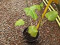 Solanum quitoense.jpg