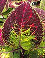 Solenostemon scutellarioides (coleus).jpg