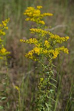 Solidago odora Arkansas.jpg