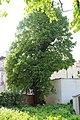 Sommerlinde, Altstadt Baden 05.jpg