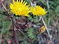 Sonchus oleraceus Inflorescence Closeup DehesaBoyaldePuertollano.jpg