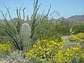 Sonoran Desert in bloom.jpg