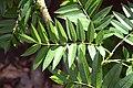 Sorbus randaiensis in Christchurch Botanic Gardens 01.jpg