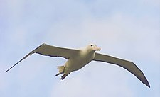 Southern Royal Albatross in flight.jpg
