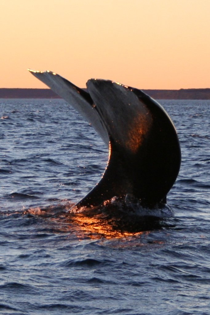 Southern right whale4