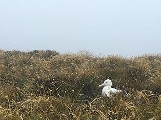 Auckland Island - Southern royal albatross on Auckland Island.
