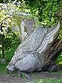Spanish Chestnut (Castanea sativa) - geograph.org.uk - 830411.jpg