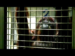Fitxer:Speech-Like-Rhythm-in-a-Voiced-and-Voiceless-Orangutan-Call-pone.0116136.s003.ogv