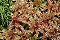 Sphagnum magellanicum (b, 150145-481742) 8437.JPG
