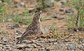 Spike-heeled lark 2018 03 10 14 17 40 3405.jpg