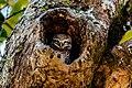 Spotted Owlet कोचलगाँडे लाटोकोसेरो (Kochalgaade Laatokosero).jpg