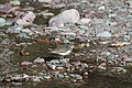 Spotted Sandpiper (9314394383).jpg