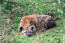 Spotted hyena in Aberdare NP.JPG