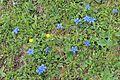 Spring Gentian - Gentiana verna (13123290945).jpg
