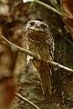 Sri Lankan frogmouth DSC 2406.jpg